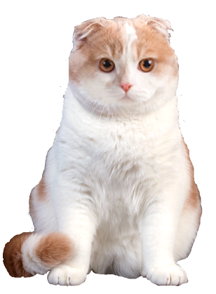 why choose a scottish fold cat to be the star of your ecard