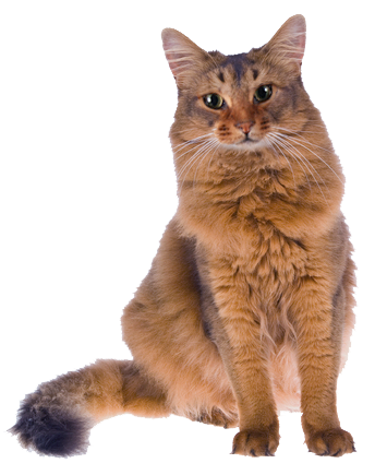 High Strung Cat Breeds