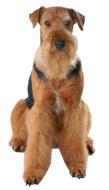 Airedale Terrier Good Luck Cards | Sloppy Kiss Cards