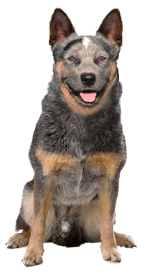why choose an australian cattle dog to be the star of your ecard