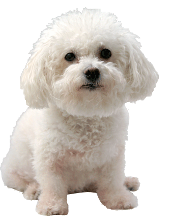 Bichon frise cards birthday thank you holidays more why choose a bichon frise to be the star of your ecard m4hsunfo
