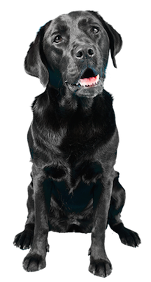 Why Choose A Black Lab To Be The Star Of Your Ecard?
