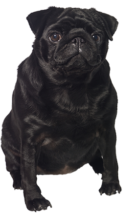 Why Choose A Black Pug To Be The Star Of Your Ecard