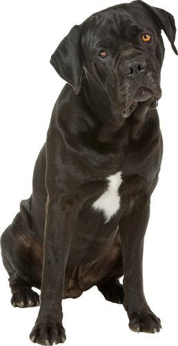 cane corso cards birthday thank you holidays more