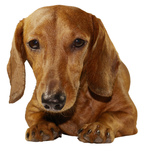 Why Choose A Dachshund To Be The Star Of Your Ecard?