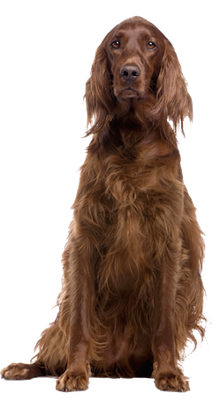 Why Choose An Irish Setter To Be The Star Of Your Ecard
