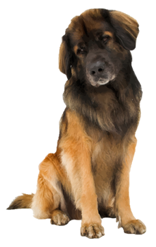 Leonberger Cards: Birthday, Thank You, Holidays & More
