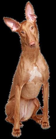 Výsledek obrázku pro png pharaoh hound