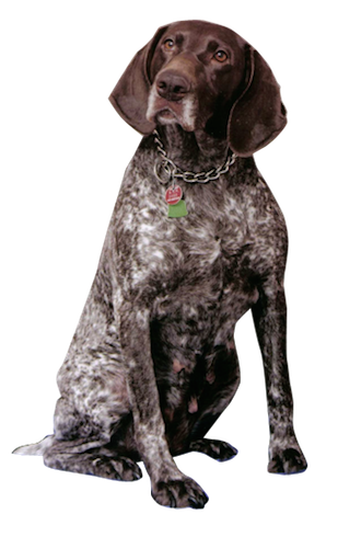 Why Choose A German Shorthaired Pointer To Be The Star Of Your Ecard