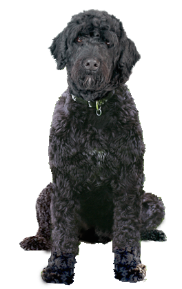 Why Choose A Portuguese Water Dog To Be The Star Of Your Ecard