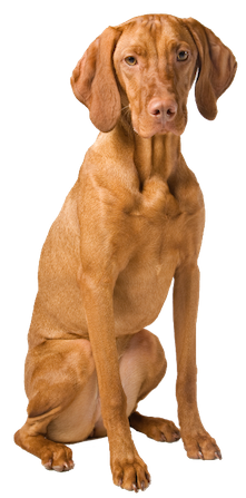 Why Choose A Vizsla To Be The Star Of Your Ecard