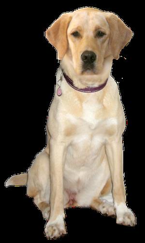 Labrador Retriever Cards Birthday Thank You Holidays More