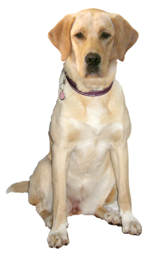 Why Choose A Labrador Retriever To Be The Star Of Your Ecard