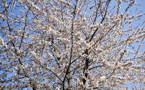 Cherry blossoms tree outside nature