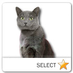 Chartreux Cat for cat ecards