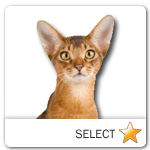 Abyssinian Cat for cat ecards