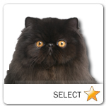 Black Persian Cat for cat ecards