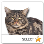 Black Tabby Maine Coon Cat for cat ecards