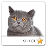 Blue British Shorthair Cat for cat ecards