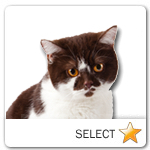 Brown and White British Cat for cat ecards