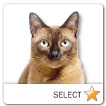 Burmese Cat for cat ecards