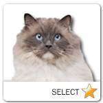 Grey and White Ragdoll Cat for cat ecards