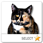 Tortie Japanese Bobtail Cat for cat ecards