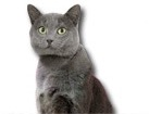 Chartreux Cat for dog ecards