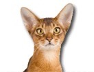 Abyssinian Cat for dog ecards