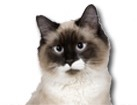 Birman Cat for cat ecards