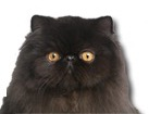 Black Persian Cat for dog ecards