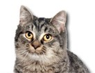 Black Tabby Cat for dog ecards