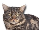 Black Tabby Maine Coon Cat for dog ecards