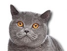 Blue British Shorthair Cat for dog ecards