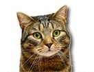 Brown Tabby Cat for dog ecards