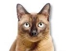 Burmese Cat for dog ecards