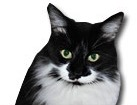 Black and White Medium Hair Cat for dog ecards