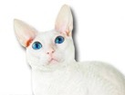 Cornish Rex Cat for dog ecards