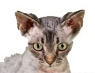 Devon Rex Cat for dog ecards