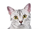 Egyptian Mau Cat for dog ecards
