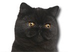Exotic Shorthair Cat for dog ecards