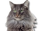 Norwegian Forest Cat for dog ecards