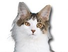 Harlequin Maine Coon Cat for dog ecards