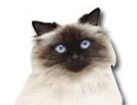 Himalayan Cat for cat ecards