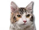 Kurilian Bobtail Cat for dog ecards