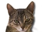 Brown Mackarel Tabby Cat for dog ecards