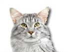Maine Coon Cat for dog ecards