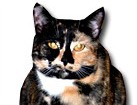 Tortie Japanese Bobtail Cat for dog ecards