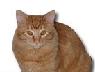 Orange Tabby Cat for dog ecards
