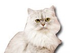 Persian Cat for dog ecards